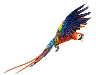 9-2-macaw-png-pic.png