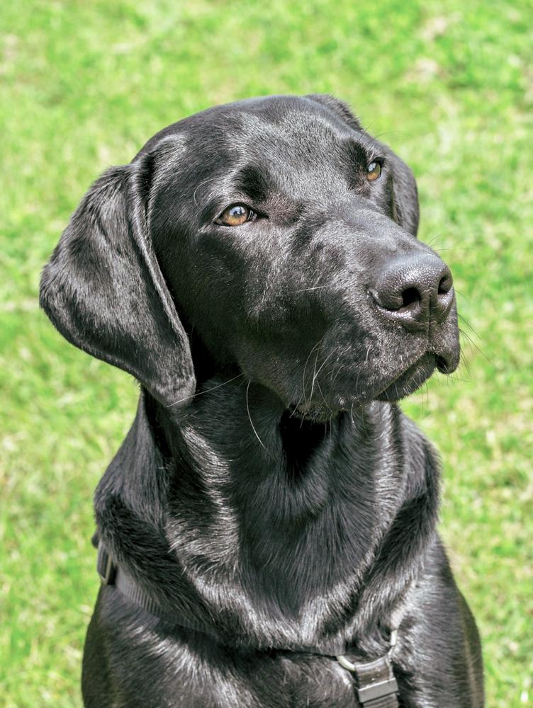 Labrador2