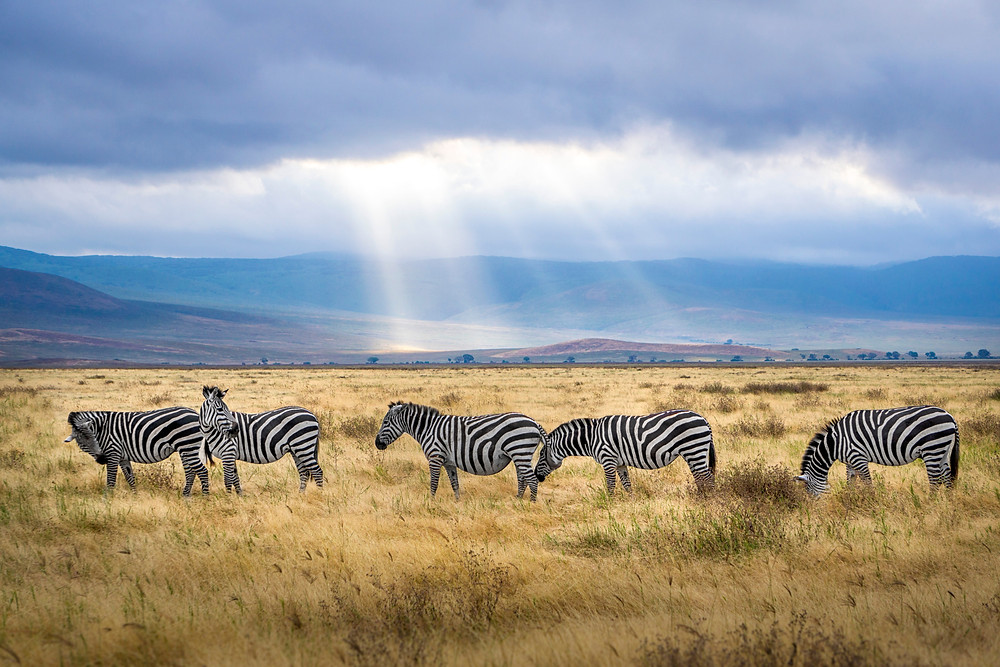 Zebras on African safari