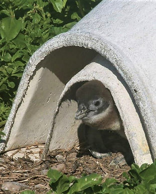 penguin-chick-7.jpg