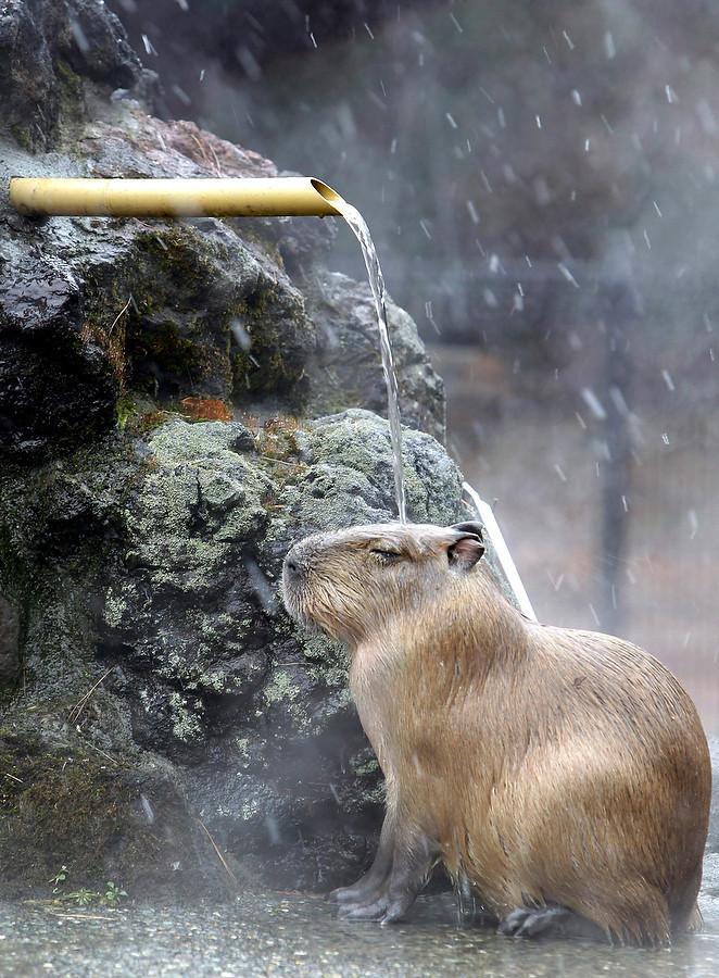 In love des capybaras