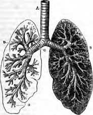lungs_drawing.jpg
