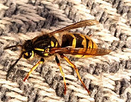 large-wasp.jpg