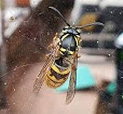queen-wasp.jpg