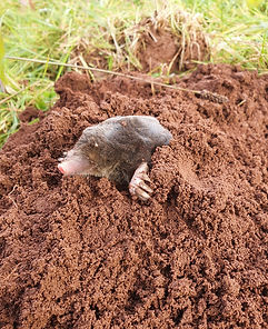 European-mole-Talpa-Europaea.jpg