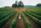Bride & groom, Drone, grape vines