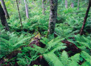 A Wonderland of Ferns: Sharing a Piece of Land with Twenty-four Native Species