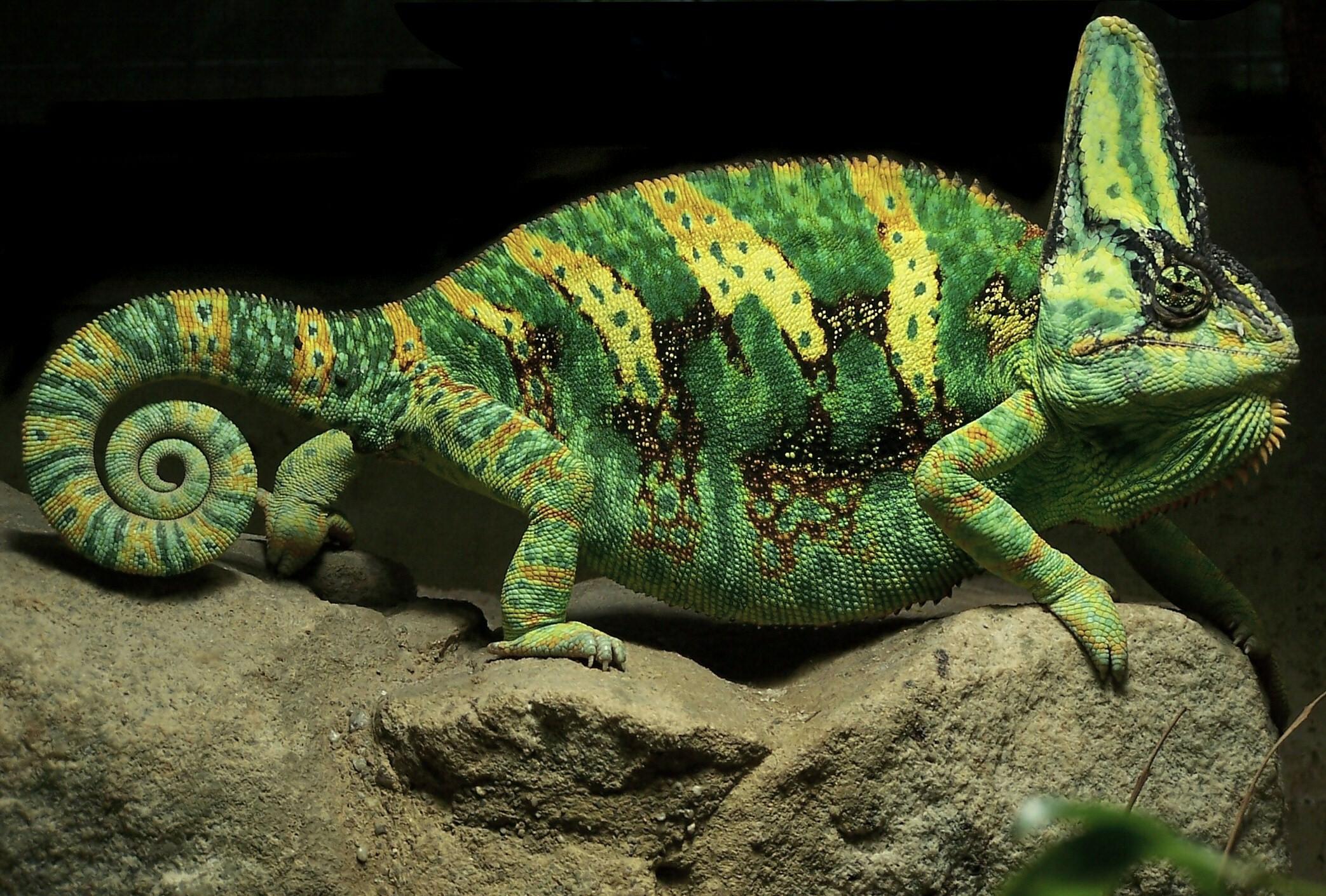 Yemen_Chameleon_(cropped)