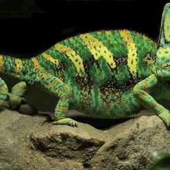 Yemen_Chameleon_(cropped).jpg