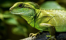 buy-a-chinese-water-dragon-exotic-pet