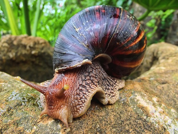 Giant_African-Snail_Sonel.SA_