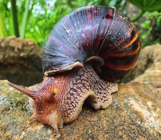 Giant_African-Snail_Sonel.SA_.jpg