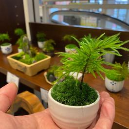 大人気の手乗り苔盆栽