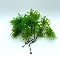 Climacium japonicum Lindb.