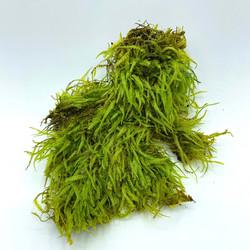 Plagiothecium euryphyllum