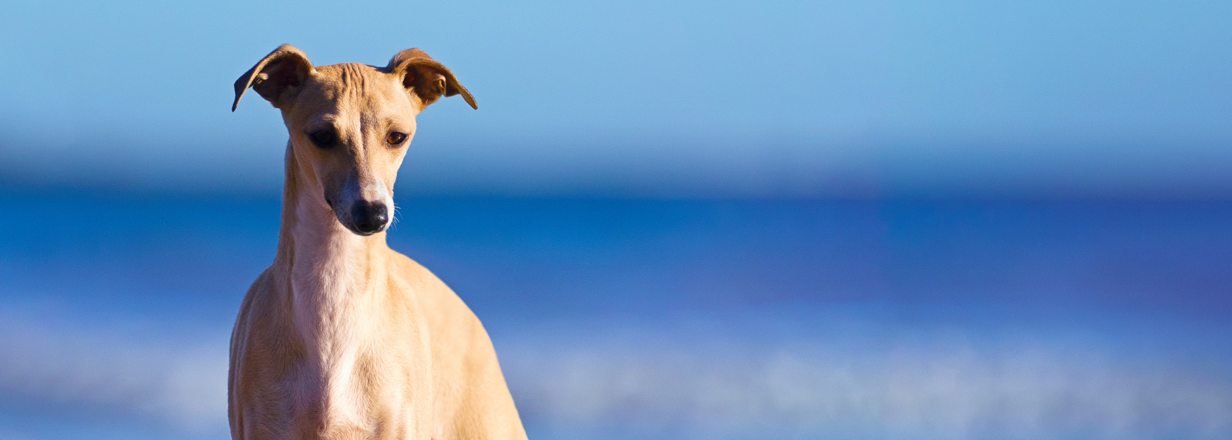 Skyefall Italian Greyhounds - Melbourne
