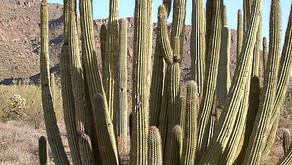 The Organ Pipe Cactus (Stenocereus thurberi)