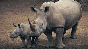 Rhinoceros (Family: Rhinocerotidae)