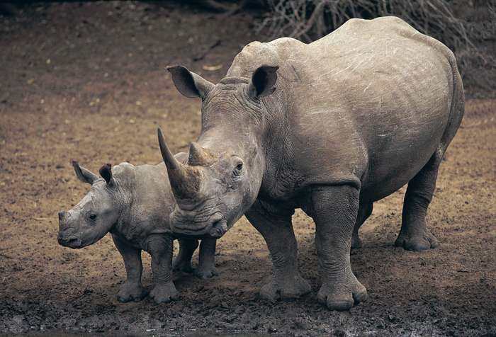An adult rhinoceros with a young rhino close by