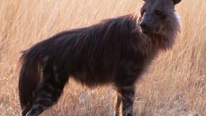 The Brown Hyena (Hyaena brunnea)