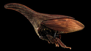 Treehoppers (Membracidae family)