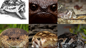 Rain Frogs (Breviceps)