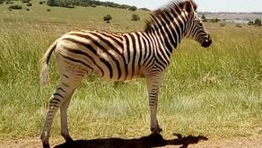 The Zebra (Hippotigris)