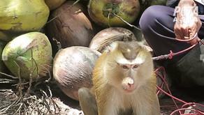 Stores Drop Coconut Products due to Forced Monkey Labor