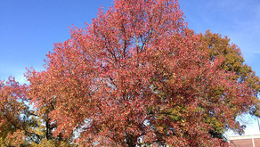 The Sweetgum Tree (Liquidambar styraciflua)