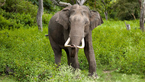 The Asian Elephant (Elephas maximus)