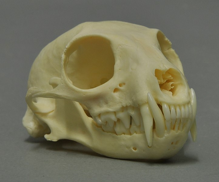 Image of a meerkat skull, which has large sockets and very sharp incisors