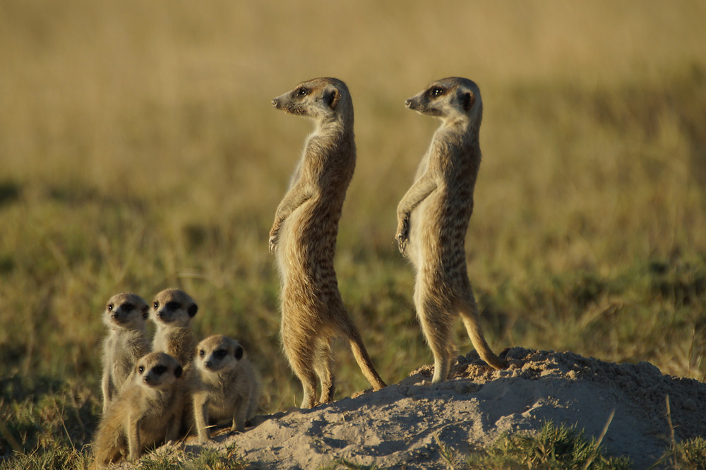 Two parent meerkats and 4 young meerkat kits standing and watching for danger