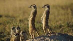 The Meerkat (Suricata suricatta)