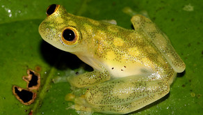 Reticulated Glass Frogs (Hyalinobatrachium valerioi )