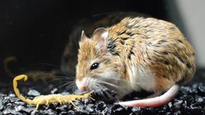 The Grasshopper Mouse (Onychomys)