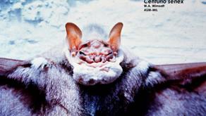 The Wrinkle-Faced Bat (Centurio senex)