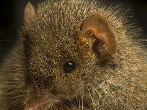 Broad-footed Marsupial Mice (Antechinus)