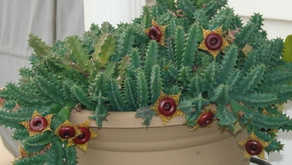 The Lifesaver Cactus (Huernia zebrina)