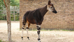 The Okapi (Okapia johnstoni)