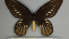 The Queen Alexandria's Birdwing (Ornithoptera alexandrae)