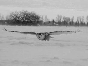 The Snowy Owl (Bubo scandiacus)