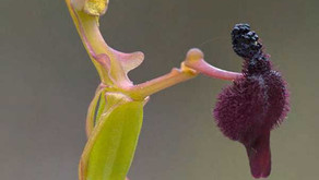 The Hammer Orchid (Drakaea glyptodon)