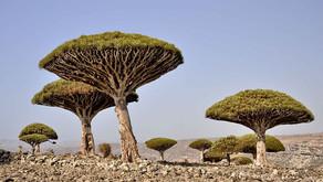 The Dragonblood Tree (Dracaena cinnabari)