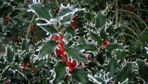 The Common Holly (Ilex aquifolium)