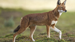 Ethiopian wolves (Canis simensis)