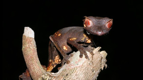 The Satanic Leaf-tailed Gecko (Uroplatus phantasticus)