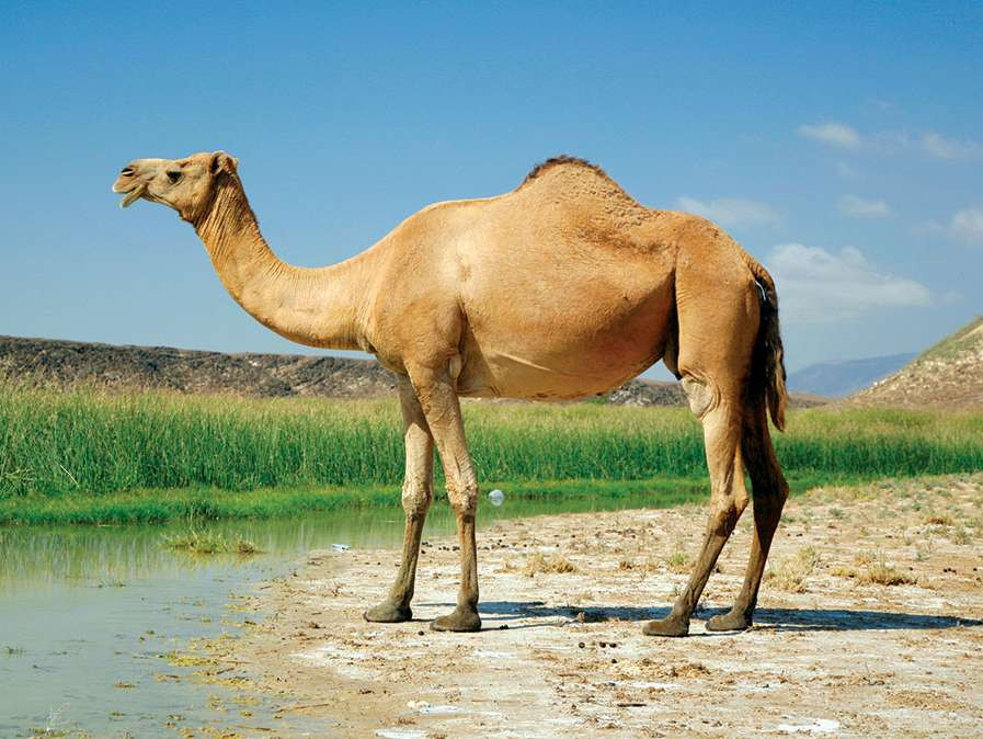 Camel drinking water and enjoying a clear sunny sky