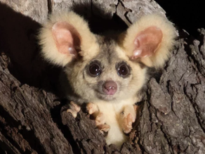 Two New Species of Mammal Discovered in Australia