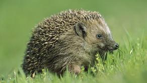 The Hedgehog Subfamily (Erinaceinae)