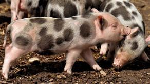 Mini Pig (Sus scrofa domesticus)